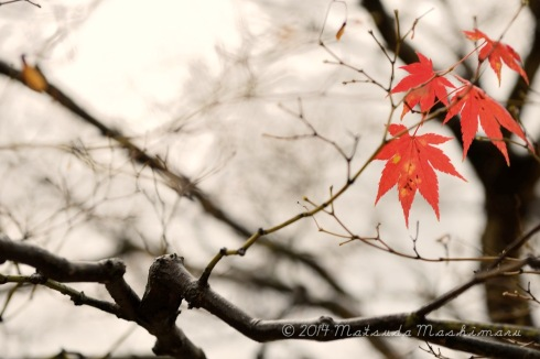 The last maple leaves